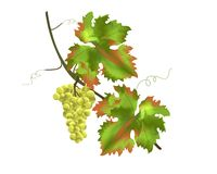 Grapes, cdr vector. Isolated bunch of grapes with rusty leaves, vector format vector illustration
