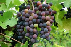 Grapes Changing Color. During veraison Royalty Free Stock Photography