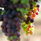 Grapes changing color during veraison Stock Photos