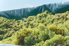 Grapes of Chardonnay. Fresh harvested grapes of Chardonnay stock image