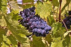 Grapes of Chianti. Photo was taken in Chianti region,Tuscany,Italy stock photo