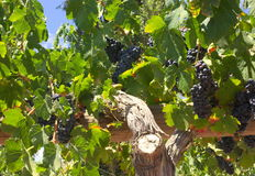 Grapes - Chile -II - Stock Photography