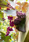 Grapes and clematis Royalty Free Stock Image