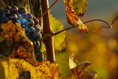 Grapes close take, grapes in the vineyard in October royalty free stock photography