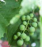 Grapes close up with leaves Royalty Free Stock Image