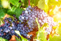 Grapes close-up in a vineyard, La Rioja, Spain.  royalty free stock photography