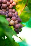 Grapes. Closed up grape purple with green leaves background stock photo