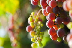 Grapes closeup Stock Images
