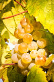 Grapes Closeup Royalty Free Stock Photos
