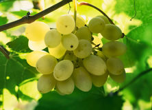 Grapes closeup. White dessert grapes hang from an old vine Royalty Free Stock Photo