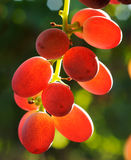 Grapes cluster. Red grapes cluster shot against the sun Royalty Free Stock Photography