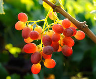 Grapes cluster. Red grapes cluster shot against the sun Stock Images