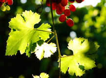 Grapes cluster. Red grapes cluster shot against the sun Royalty Free Stock Photos
