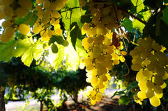 Grapes cluster. Green grapes cluster shot against the sun Stock Photos