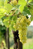 Grapes cluster Stock Image