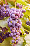 Grapes cluster on vine with copy-space against sunlight Royalty Free Stock Image