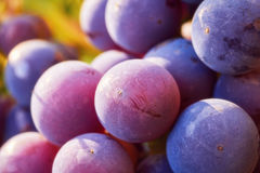 Grapes cluster on vine with copy-space against sunlight Stock Photos