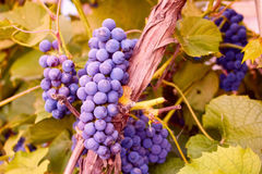 Grapes cluster on vine with copy-space against sunlight Stock Images