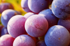 Grapes cluster on vine with copy-space against sunlight Royalty Free Stock Images