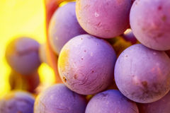 Grapes cluster on vine with copy-space against sunlight Royalty Free Stock Photo