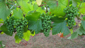 Grapes in clusters on grapevine Stock Images