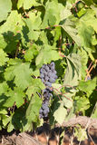 The grapes clusters hanging among leaves Royalty Free Stock Photo