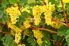 Grapes clusters Stock Image