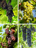 Grapes collage. Collage of ripening grape clusters from different varieties royalty free stock photos