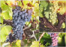 Grapes collage Stock Image