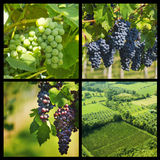 Grapes collage Royalty Free Stock Images