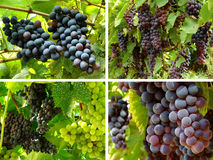 Grapes collection Royalty Free Stock Photography