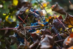 Grapes and colorful autumn leaves Royalty Free Stock Photography