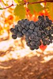 Grapes and colorful autumn leaves under the sun stock photo
