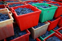 Grapes in coloured boxes. Red, green and white coloured boxes filled with freshly picked nebbiolo grapes in italy Royalty Free Stock Image