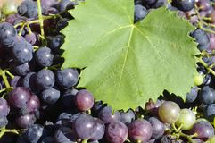 Grapes. Concord grapes ready for the press Royalty Free Stock Image
