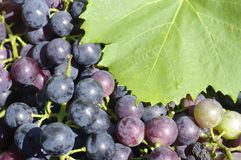 Grapes. Concord grapes ready for the press Royalty Free Stock Photography