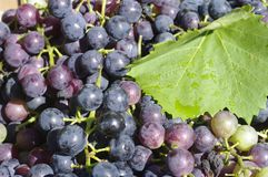 Grapes. Concord grapes ready for the press Royalty Free Stock Photos