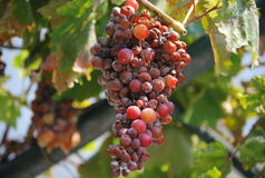 Grapes in Corfu Stock Image
