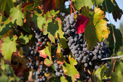 Grapes. In the countryside at the sunset Royalty Free Stock Photos