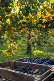 Grapes. In the countryside in the sunset Stock Photos