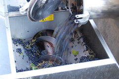 Grapes in the crusher Stock Image