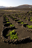 Grapes cultivation viticulture winery. Lanzarote spain la geria vine wall crops royalty free stock images
