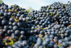 Grapes. Dark blue grapes in bunch Royalty Free Stock Images