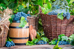 Grapes, demijohn and wicker baskets. In garden Royalty Free Stock Photos