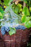 Grapes, demijohn and wicker baskets. On old wooden table Stock Photography
