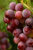 Dewy grapes in autumn colors Royalty Free Stock Photo