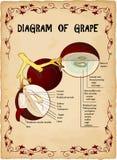 Grapes diagram illustration Stock Photos