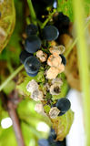 Grapes diseased Stock Images