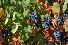 Grapes from Douro valley Stock Photography