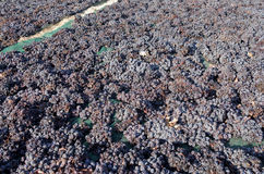 Grapes are drying on the field Stock Photo